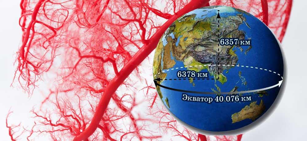 Длина кровеносных сосудов в теле человека
