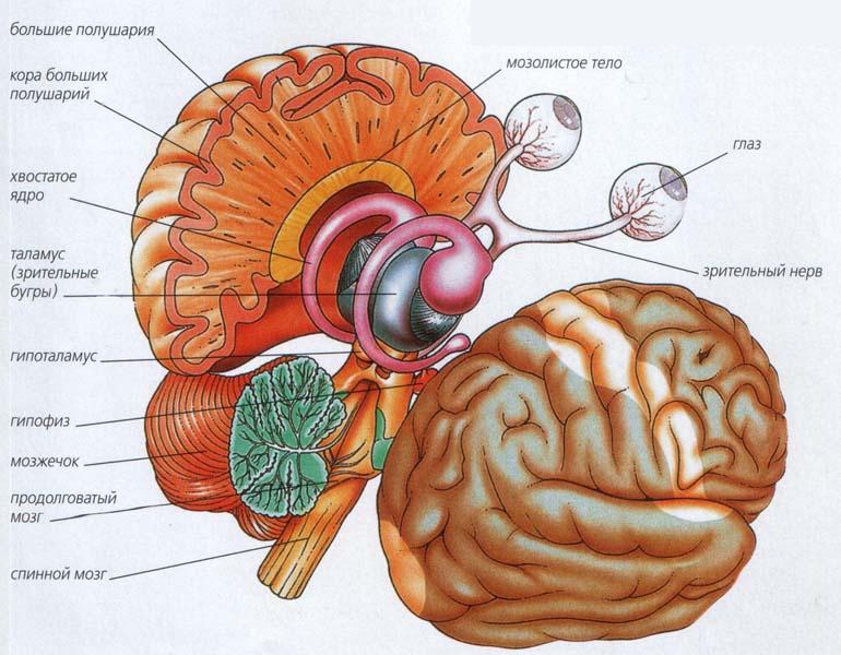 За что отвечает головной мозг человека